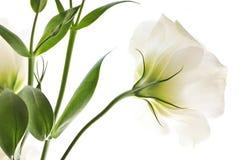 Flores blancas aisladas Fotos de archivo
