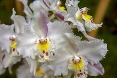 Flores blancas, amarillas y rojas de la orquídea del odontoglossum imagenes de archivo