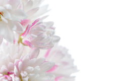 Flores blancas bastante rosáceas de Scabra del Deutzia en el fondo blanco imagen de archivo