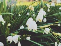 Flores blancas brillantes del copo de nieve Foto de archivo
