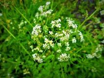 Flores blancas brillantes siempre para arriba en el día, incluso en días grises imagen de archivo