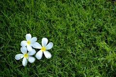 Flores blancas caídas Imagen de archivo libre de regalías