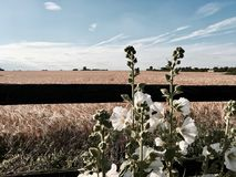 Flores blancas cerca de campos amarillos Foto de archivo