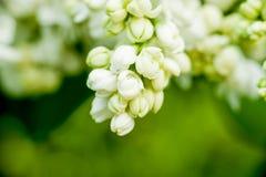 Flores blancas cerradas de la lila sobre fondo verde fotos de archivo