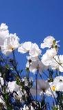 Flores blancas, cielo azul Foto de archivo libre de regalías
