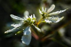 Flores blancas con descensos de rocío Fotografía de archivo libre de regalías