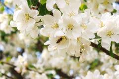 Flores blancas con la abeja Imágenes de archivo libres de regalías