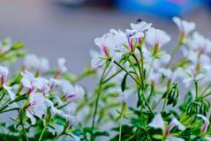 Flores blancas con la abeja en la ciudad Cierre para arriba Imagenes de archivo