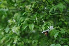 flores blancas con la abeja en fondo de las hojas fotografía de archivo
