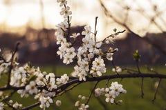Flores blancas con puesta del sol foto de archivo