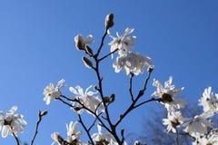 Flores blancas contra el cielo azul Imagen de archivo