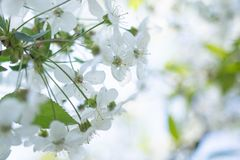 Flores blancas de Apple en un fondo borroso de los ?rboles de florecimiento fotografía de archivo libre de regalías
