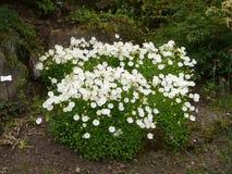 Flores blancas de Blossming en jardín botánico imágenes de archivo libres de regalías