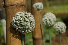 Flores blancas de cebollas verdes Una imagen genial para el calendario, el sitio y la publicidad Imagenes de archivo