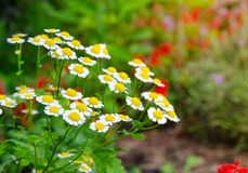 Flores blancas de Feverfew del parthenium hermoso del Tanacetum en una estación de primavera en un jardín botánico foto de archivo