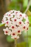 Flores blancas de Hoya Imágenes de archivo libres de regalías