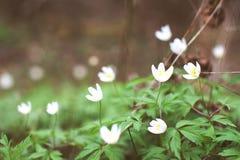 Flores blancas de la anémona en bosque Foto de archivo