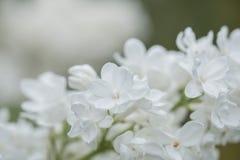 Flores blancas de la anciano Fotos de archivo