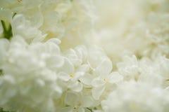 Flores blancas de la anciano Fotografía de archivo