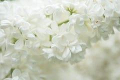 Flores blancas de la anciano Foto de archivo libre de regalías