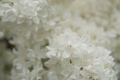 Flores blancas de la anciano Imagenes de archivo