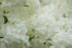 Flores blancas de la anciano Imagen de archivo libre de regalías