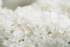 Flores blancas de la anciano Foto de archivo