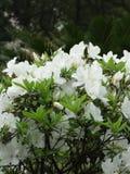 Flores blancas de la azalea Foto de archivo