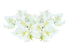 Flores blancas de la buganvilla Foto de archivo
