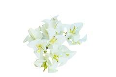 Flores blancas de la buganvilla Fotos de archivo libres de regalías