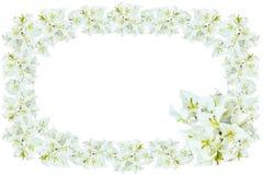 Flores blancas de la buganvilla Fotos de archivo