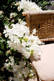 Flores blancas de la buganvilla blanca de Bougainvillea Foto de archivo libre de regalías