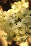 Flores blancas de la buganvilla blanca de Bougainvillea Imagen de archivo
