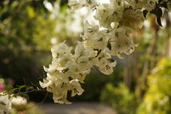 Flores blancas de la buganvilla blanca de Bougainvillea Imagenes de archivo