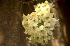 Flores blancas de la buganvilla blanca de Bougainvillea Fotografía de archivo