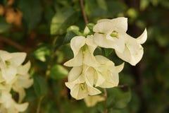 Flores blancas de la buganvilla blanca de Bougainvillea Fotografía de archivo libre de regalías
