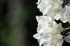 Flores blancas de la buganvilla blanca de Bougainvillea Foto de archivo