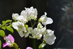 Flores blancas de la buganvilla blanca de Bougainvillea Fotos de archivo libres de regalías