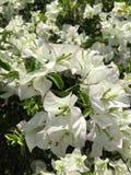 Flores blancas de la buganvilla del color de su familia imagen de archivo