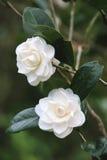 Flores blancas de la camelia Foto de archivo libre de regalías