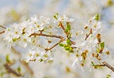 Flores blancas de la cereza Imágenes de archivo libres de regalías
