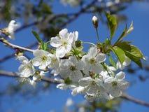 Flores blancas de la cereza Imagen de archivo