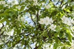 Flores blancas de la cereza el tiempo de primavera Fotografía de archivo