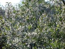 Flores blancas de la cereza en el jardín Imagenes de archivo