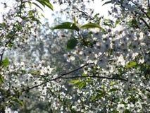 Flores blancas de la cereza en el jardín Foto de archivo libre de regalías