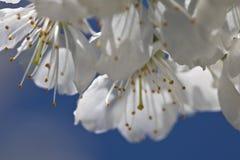 Flores blancas de la cereza macra con los pétalos y pistilos en fondo del cielo azul Imagen de archivo