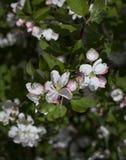 Flores blancas de la cereza y de la hoja fotos de archivo libres de regalías