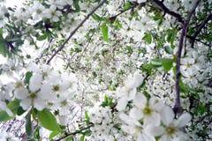 Flores blancas de la flor de cerezo en un día de primavera soleado Imágenes de archivo libres de regalías