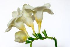 Flores blancas de la fresia Imágenes de archivo libres de regalías
