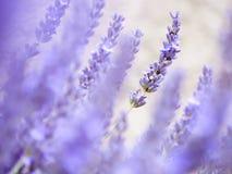 Flores blancas de la lavanda vistas cerca para arriba Imagenes de archivo